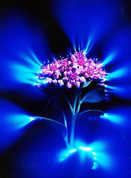 кирлиянова фотография,аура на цвете