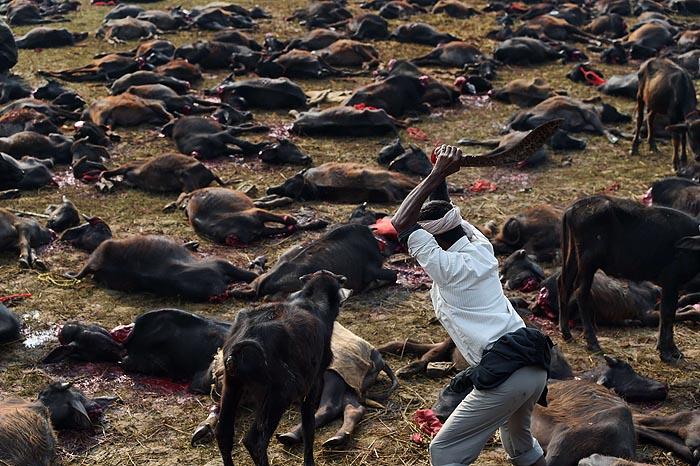 съвременна животинска жертва в Непал