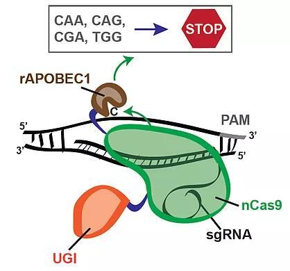 Генетично Оръжие CRISPR CAS9 СТОПИРА 4 КОДОНА